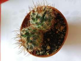 Cactus de Coleccion