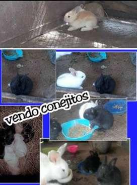 Hermosas bebes conejos de razas New zelands y Rex.