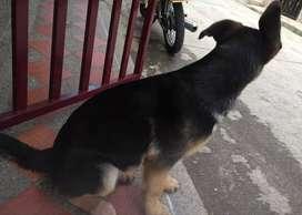 Hermosa perra pastor alemán