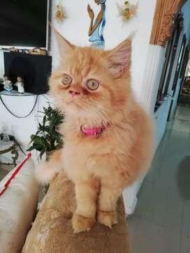 Hermoso gatito persa