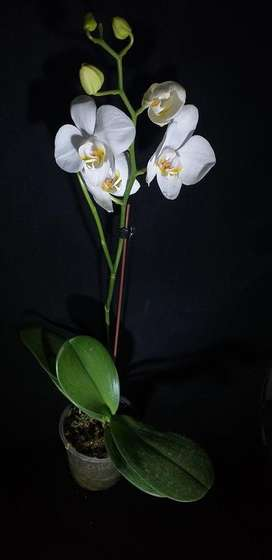 Orquideas Phalaenopsis