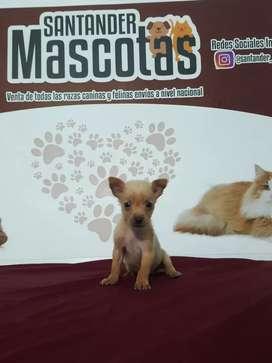 Mascota de raza Pincher mini