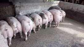 Venta de cerdos lechones marranos