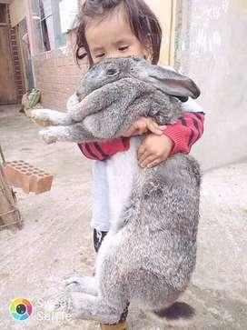 Venta de conejos gigantes y gallinas brahma