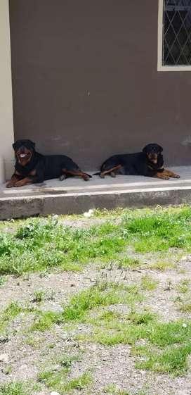 Venta de cachorrito rottweiler Alemán