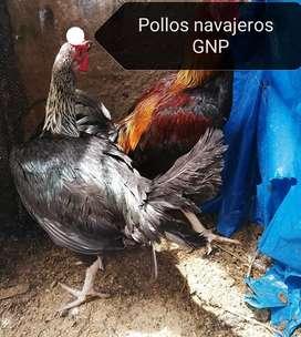 Pollo gallina gallo