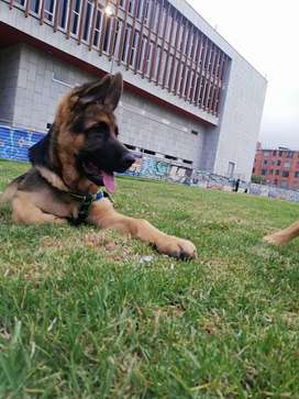Vendo perro Pastor Alemán 4 meses y 5 días En Bogotá