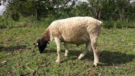 dorper puro con registro ovejo camuro chivo