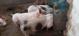Lechones de engorde 150