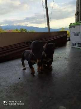 Cachorros pincher hembras