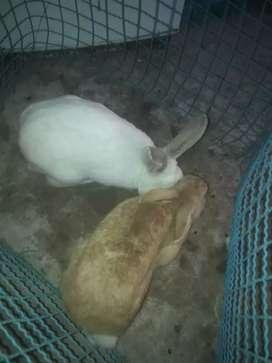 Vendo una yunta de conejos