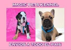 LOS MEJORES BULLDOG FRANCES E INGLES VENTA. cachorros de dos meses de edad