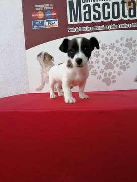 Amigable Jack rusell terrier de 52 días hembra