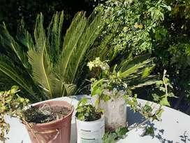 plantas de enredaderas disciplinadas