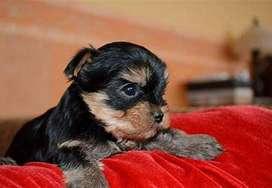 Cachorritos yorkshire terrier de 52 días de pelaje estupendo