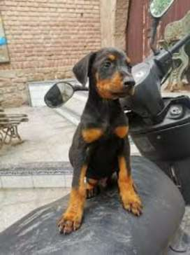 Vendo mi cachorro doberman macho