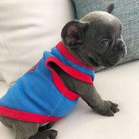 bulldog frances de la mejor genetica 56 dias