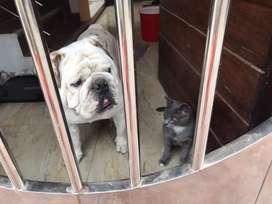 Bulldog Ingles Busca novia (Servicio de monta )
