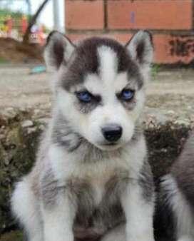 Vendo lobos siberianos