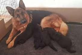 Cachorros pastor aleman en venta