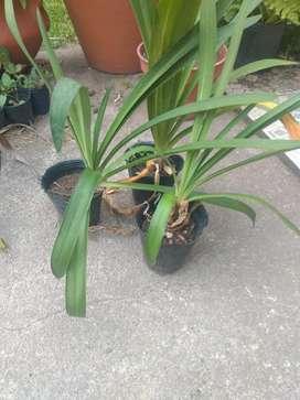 Plantines Agapanto.