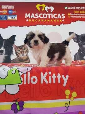 Divertidos cachorritos shihtzu mini