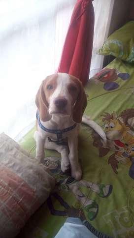Beagle limon cachoro de 6 meses  hun