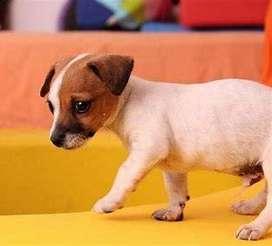 Cachorros de características idoneas Jack Russell garantizados