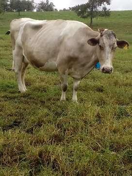 En venta vacas lecheras