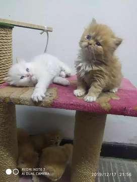 Doy en adopción hermosos gatos persas