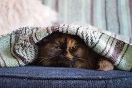 Busco novio - Gato Persa