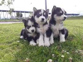 Bellos lobos siberianos a la venta puros