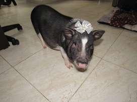 Vendo a Dalila la  mini pig