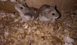 Se venden hamster rusos