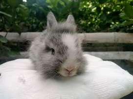 Hermosos Conejos de Raza Mini Cabeza de León... Ideal para Mascotas Bicolor y Tricolor!!!