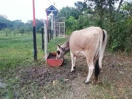 Vendo vaca de tercer parto buena  calidad de leche