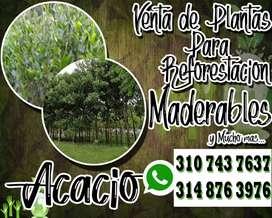 PLANTAS REFORESTACIÓN ACACIO ARBOL NATIVO