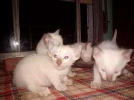 Vendo gatitos siameses machos