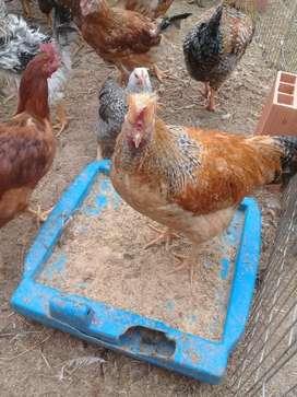 Pollos Gallos criollos campesinos Reproductores Huevo Azul