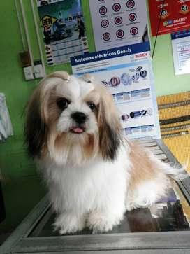 Venta de cachorro shitzu