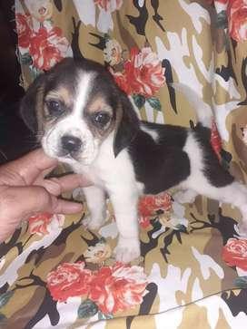 El mejor regalo mes de la madre beagle enanito puros
