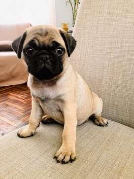 Pug cachorro hembra
