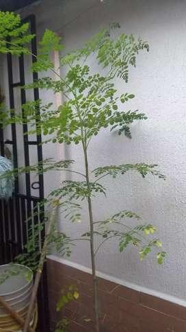 Semilla moringa