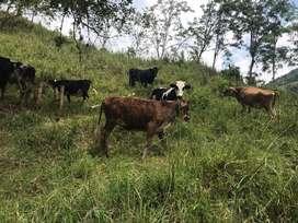 Terneras Tipo Leche Y Vacas Lecheras
