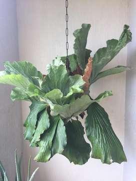 Planta de Cuerno