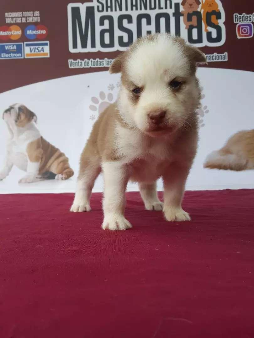 Sanos cachorros husky siberiano rojo 0