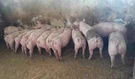Cerdos de 64 días de nacidos