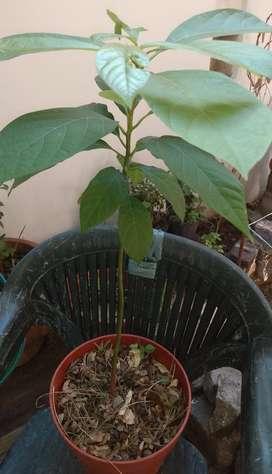 Palta plantas y plantines
