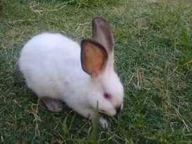 Conejos Californianos y comunes