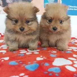 Pomerania mini lulu 45 días de vida